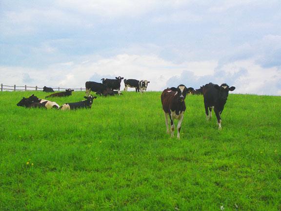 CowsClassof06b(bl).jpg