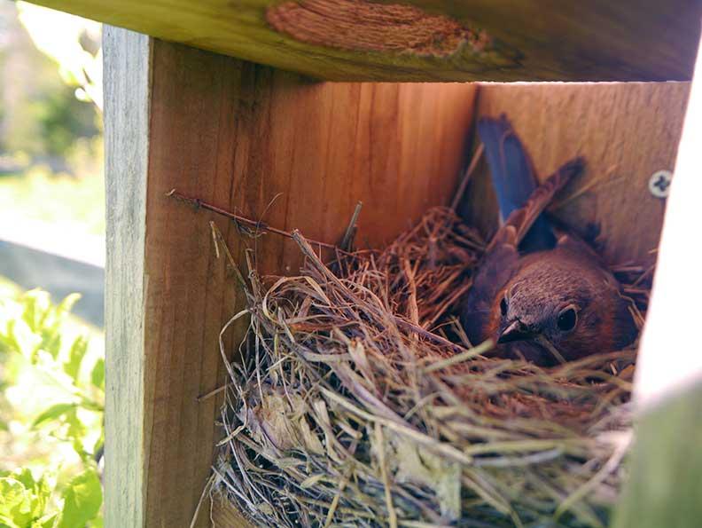 FarmBluebird(bl).jpg