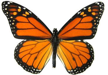 MonarchButterflyHallow(bl).jpg