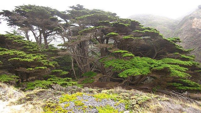 MontereyCypress1.jpg