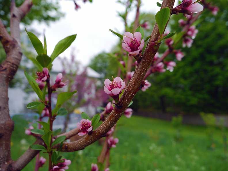 PeachBlossomsFarm2013(bl).jpg
