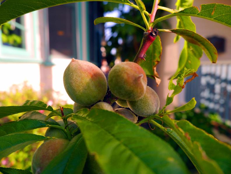PeachesVenApr2012(bl).jpg