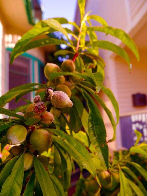 PeachesVenApr2012Cl(bl).jpg