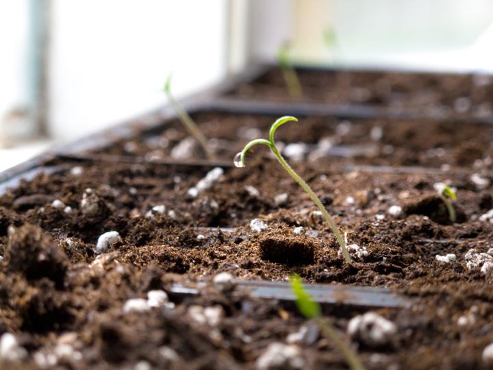TomatoSeedling11(bl).jpg