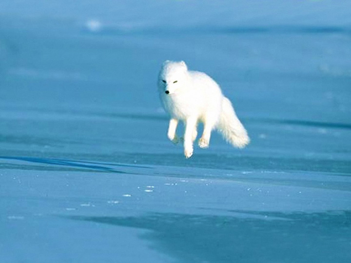 arctic-fox-running(bl).jpg