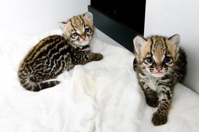 ocelot-kittens.jpg