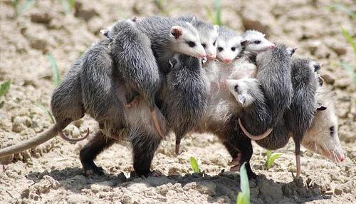 opossumzus.jpg