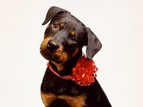 puppy_bow.jpg
